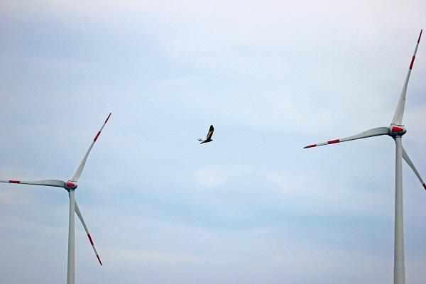 Foto: © NATURSCHUTZINITIATIVE e.V. (NI) - Rohrweihe als schlaggefährdete Art in der Feldflur vor dem Windpark Undenheim fliegend